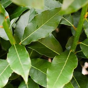 Bay (Laurel) Leaf - Laurus Nobilis