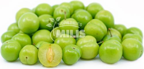 Green Prune