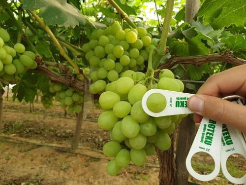 Egyptian Grape