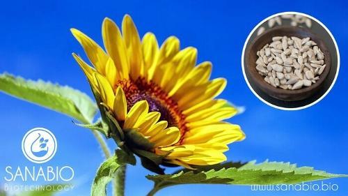 Sonnenblumenöl, BIO KOSMETIK