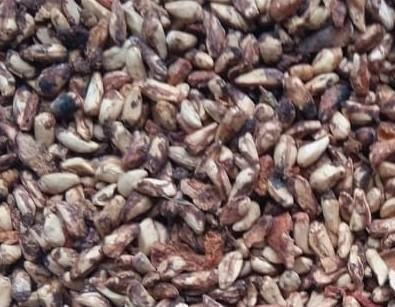 Pomegranate organic and conventional seeds