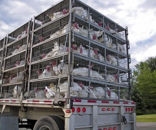 des camions de transport d'animaux vivants