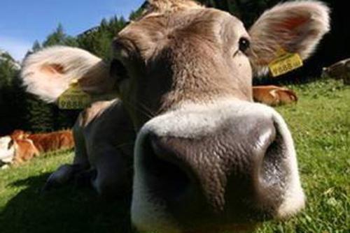 Synthetischer Rinder-Urin