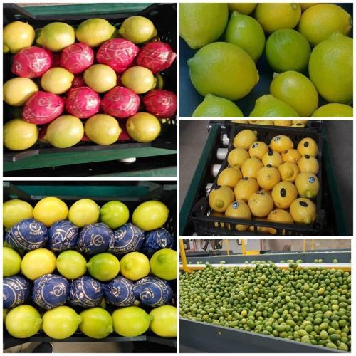 Limone egiziano