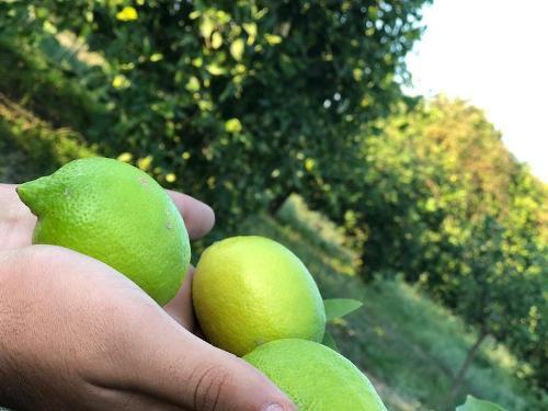 Fresh Mayer Lemon