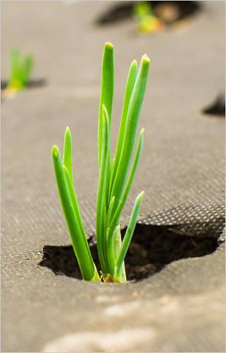 Spunbond agriculture pour le contrôle de mauvaises herbes
