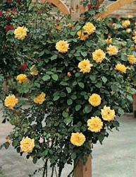 Rosai rampicanti a fiore piccolo
