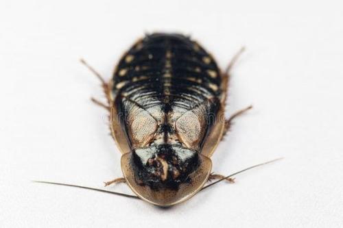 Cucaracha Argentina (Bláptica Dubia)