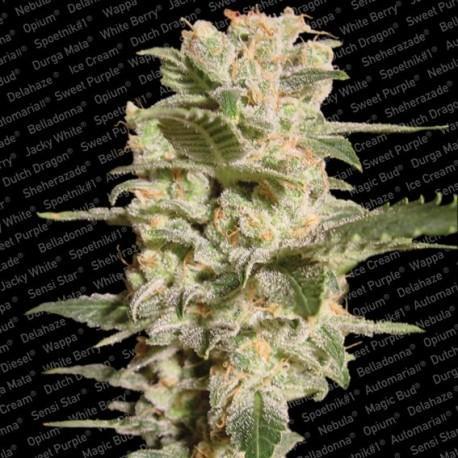 Belladona Marihuana