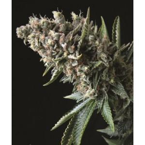 Semillas de marihuana Nefertiti