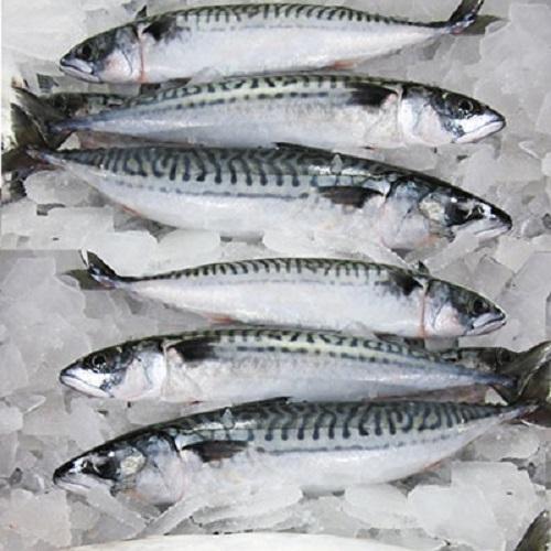 Frozen Mackerel Fish Whole Round / Salmon Fish For Sale