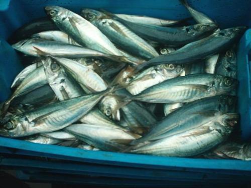 Gefrorene Fischprodukte