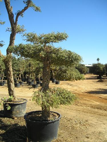 Quercus suber pom pom