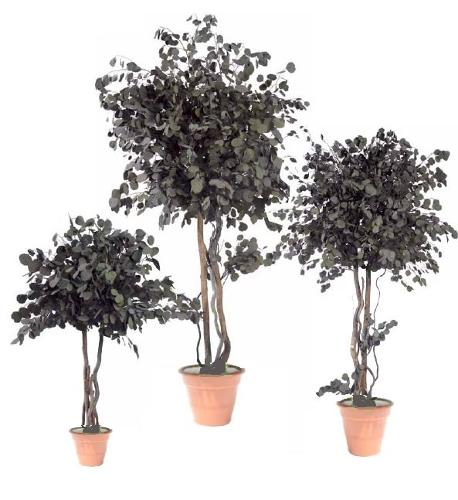 Preserved tree Eucalyptus Popolus Crown