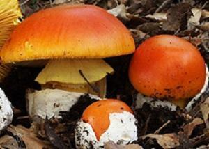 Caesars Mushroom - Amanita Caesarea