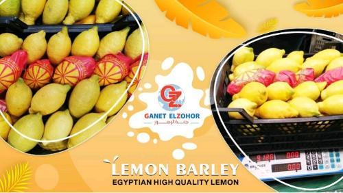 Ячмень лимонный