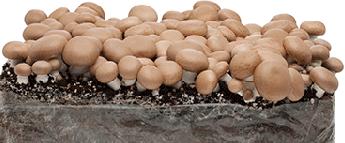 Cogumelos Frescos Produzidos em Portugal