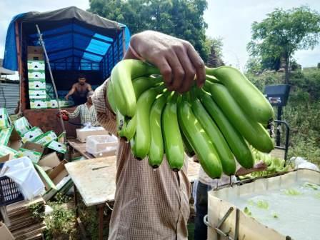 cavendish banana G9