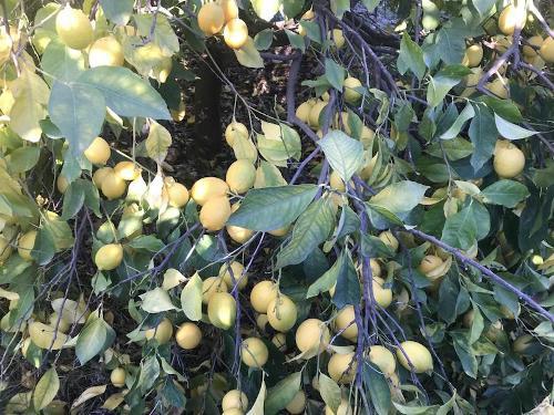 Fresh Enterdonat Lemon