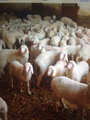 ASSAF lamb
