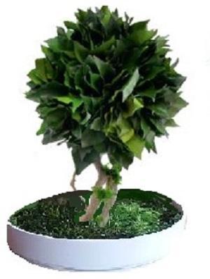preserved bonsai hedera