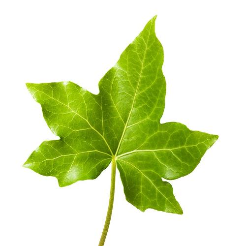 Ivy … leaves with healing properties