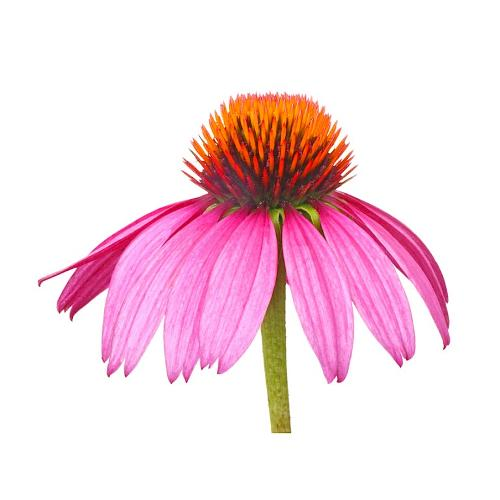 Purple coneflower ... a potent herb