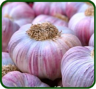 AIL - Allium sativum