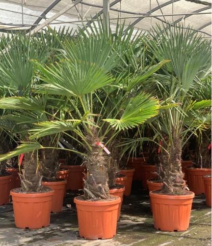 Trachycarpus Fortunei and Wagnerianus