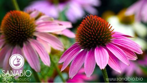 Organic Echinacea Extract