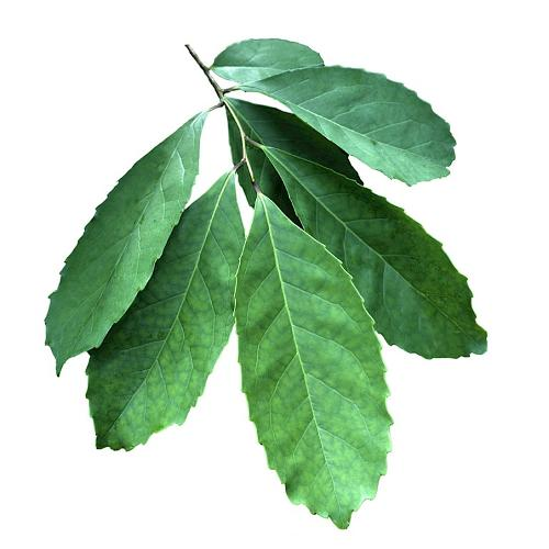 Mate … potent leaves