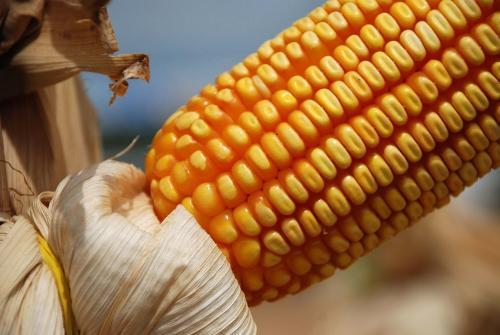 MILHO AMARELO GMO