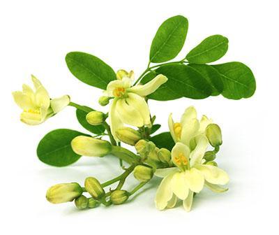 huile de Moringa (Moringa Oleifera)