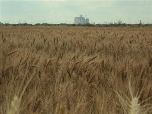 Wheat, Barley, Corn, Millet, wood, charcoal