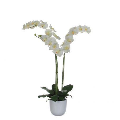 Plante Phalaenopsis Orchidée 100 Cm