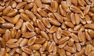 Пшеница мягких сортов