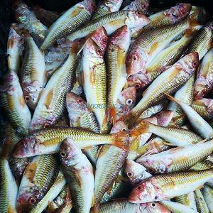 تصدير مسحوق السمك